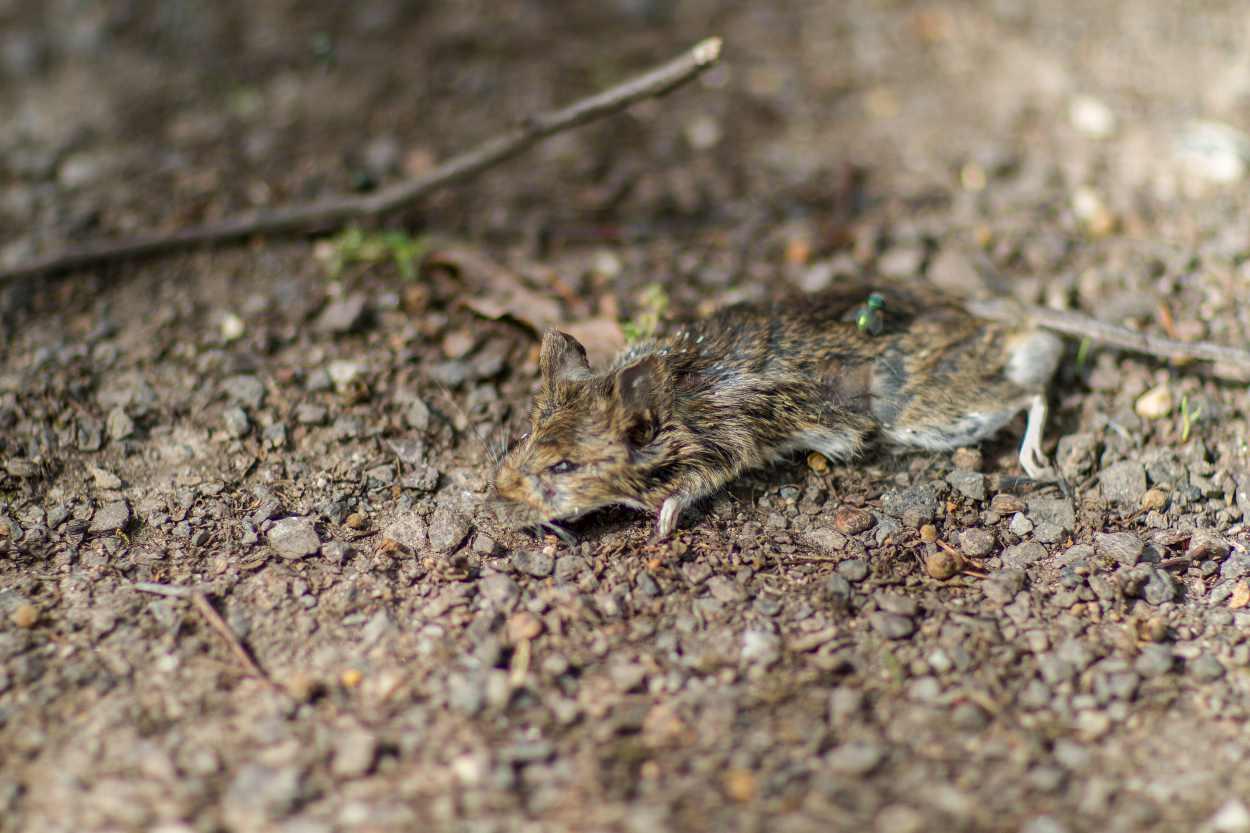 Eine tote Maus auf dem Friedhof an der Merseburger Strasse in Leipzig.