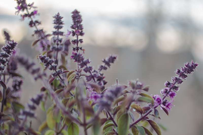 Lavendel blüht in einem Blumenkasten.