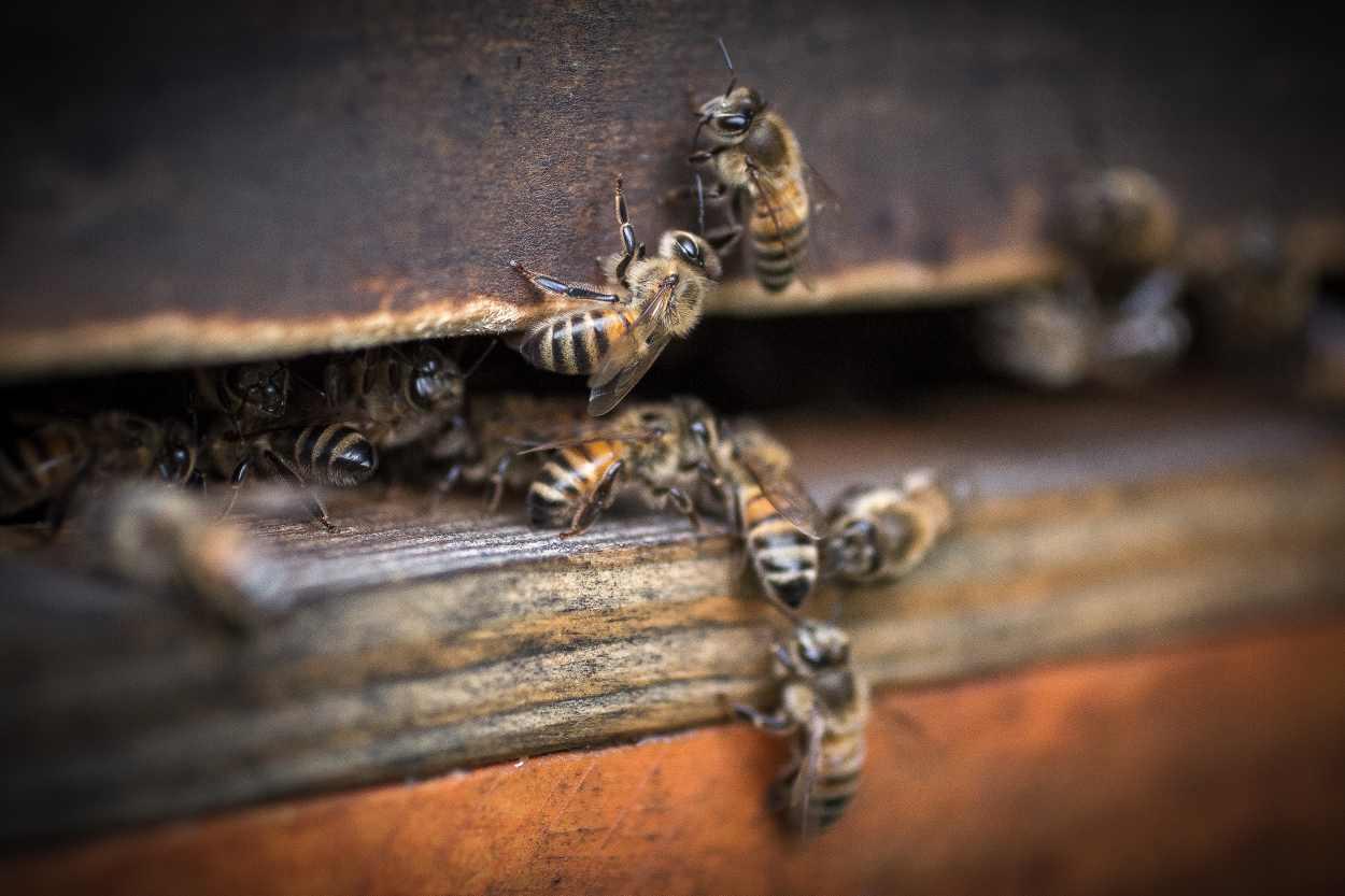Detailaufnahme eines Flugloch aus dem zahlreiche Bienen krabbeln.
