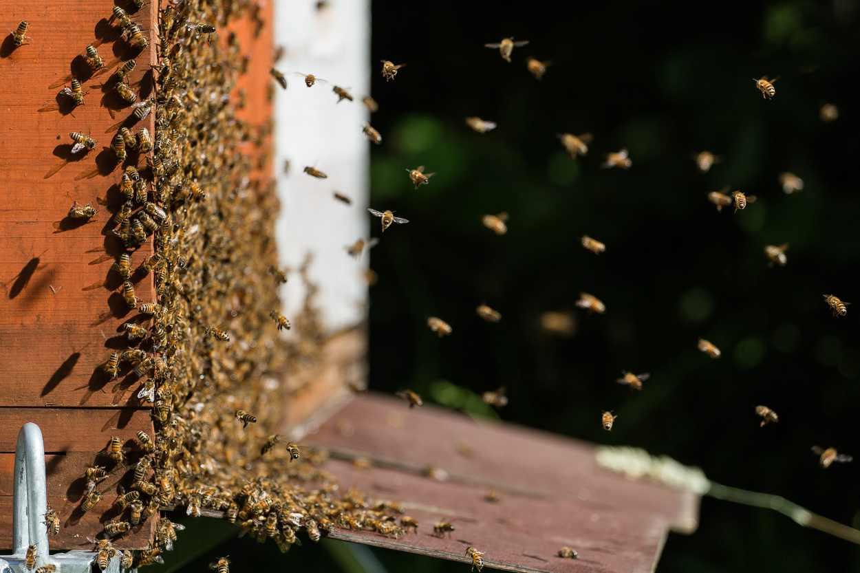 Detailaufnahme des Schwarmverhaltens eines Bienenvolks.