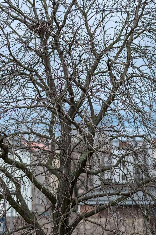Ein winterlich kahler Baum vor dem Atelier in der Naumburger Strasse in Leipzig Plagwitz.