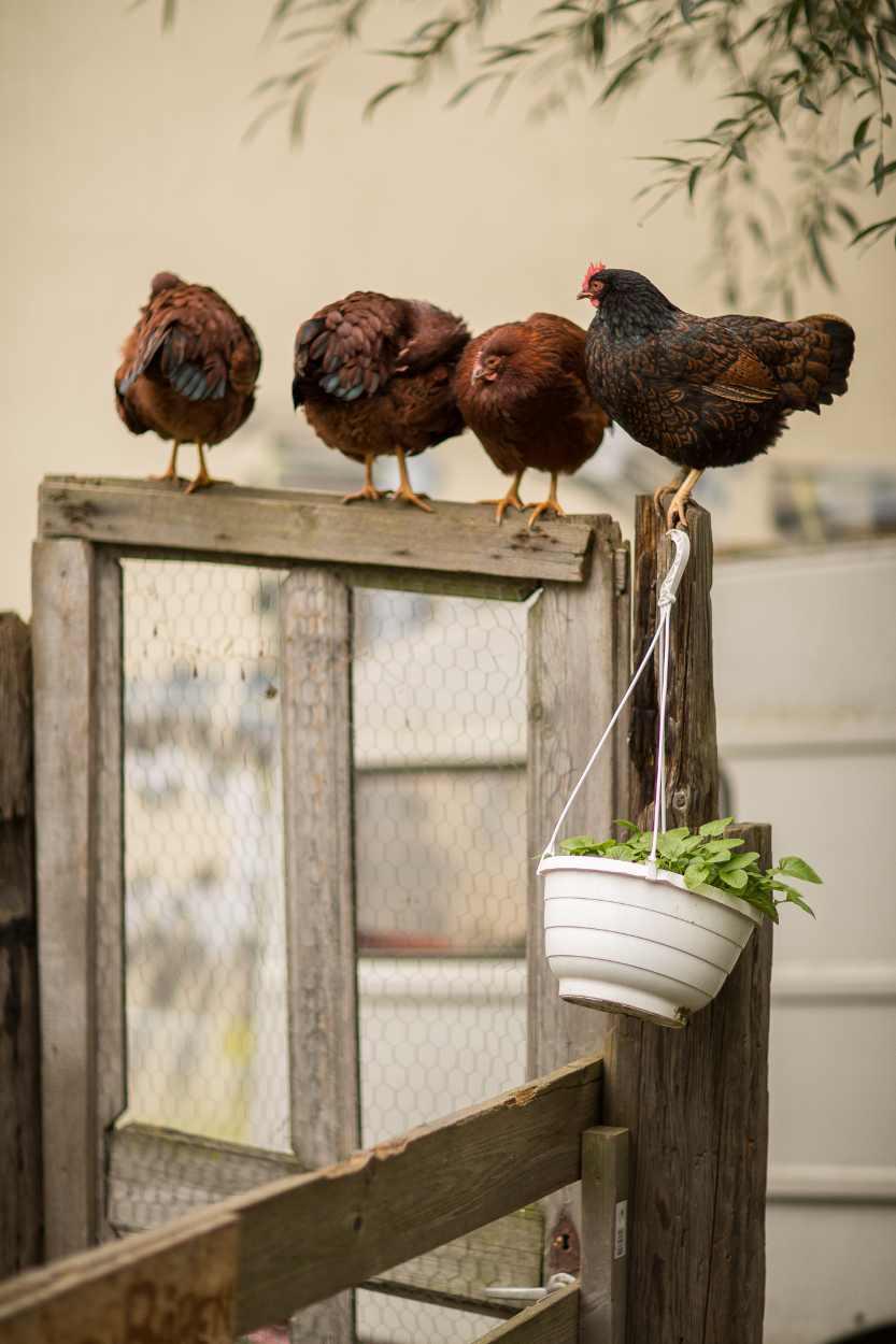 Die Zwerghühner des Nachbarschaftsgärten e. V.. Besonders schöne kleine Hühner, deren Gefieder immer so schön in verschiedenen Farben schillert.
