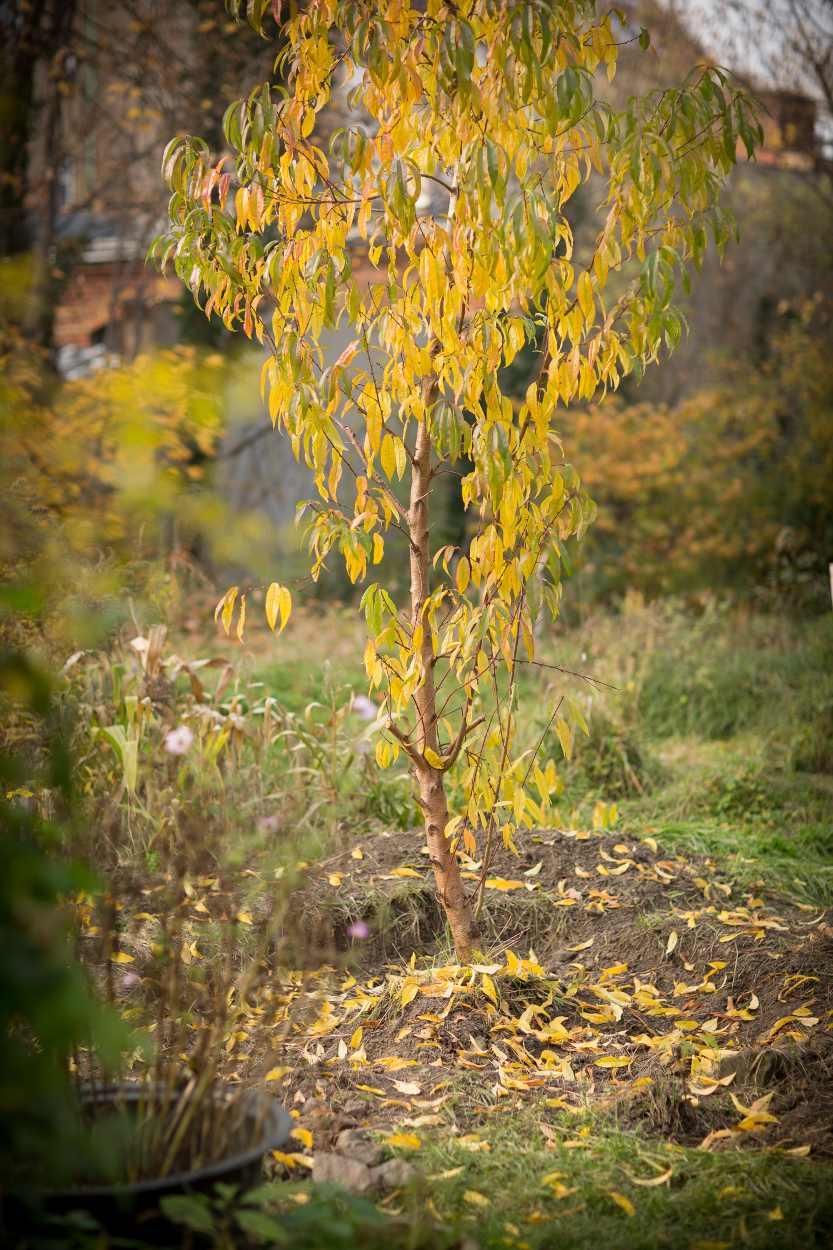 Halb ausgegrabener Pfirsichbaum in den Nachbarschaftsgaärten.