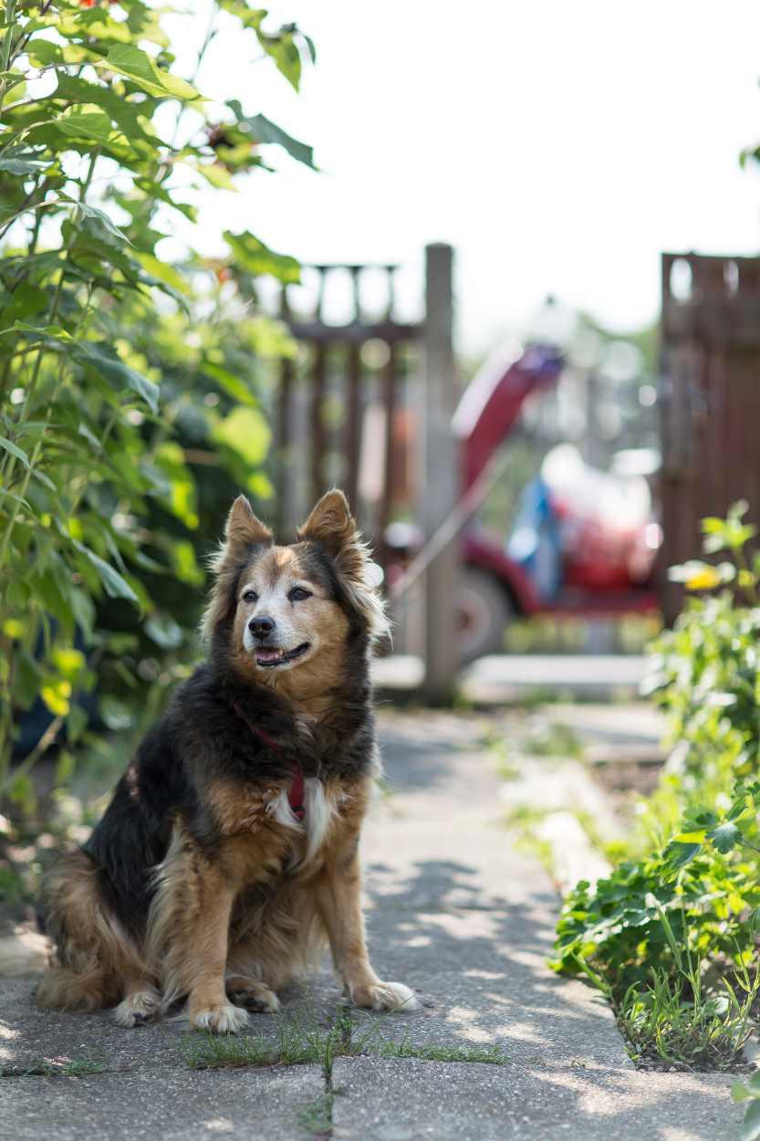 Ein Hund des Nachbarn sitzt angeleint im Kleingarten.