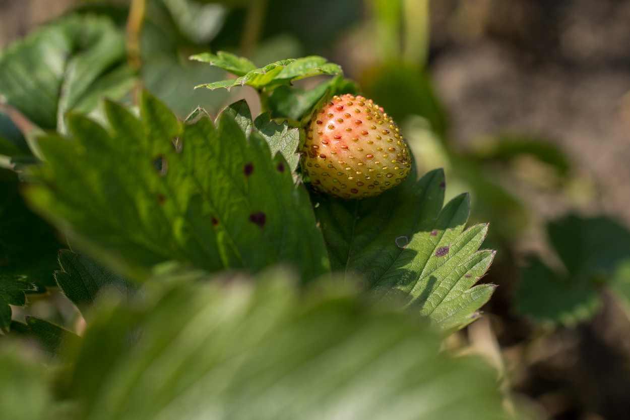 Erdbeeren wachsen in Steffi Geschewskis Kleingarten in Leipzig Lindenau.
