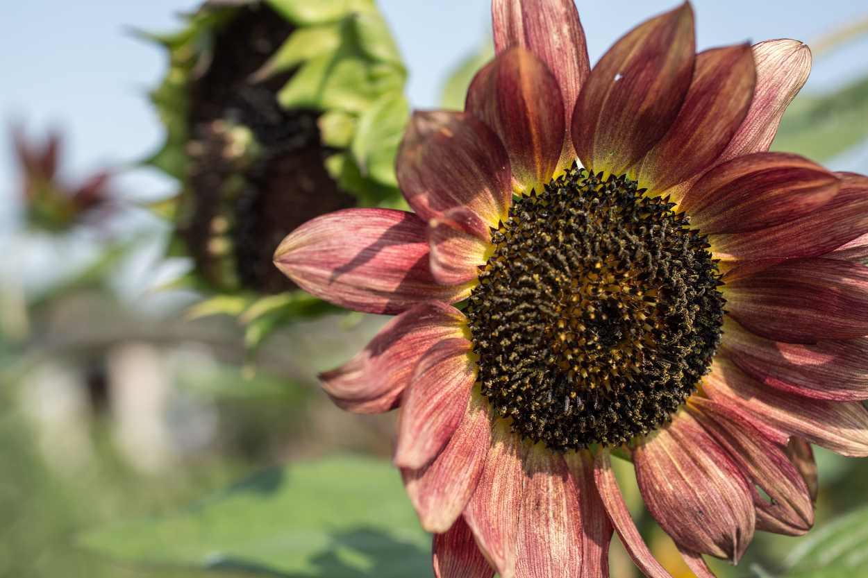 Sonnenblumen im Kleingarten von Steffi Geschewski in Leipzig Lindenau.