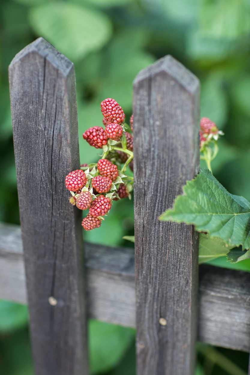 Beeren drücken sich durch den Holzzaun des Kleingartens.